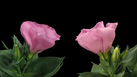 Time-lapse of blooming pink japanese roses 8 two cameras shot Footage