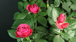 Time-lapse of red roses opening 2 Stock Video Footage