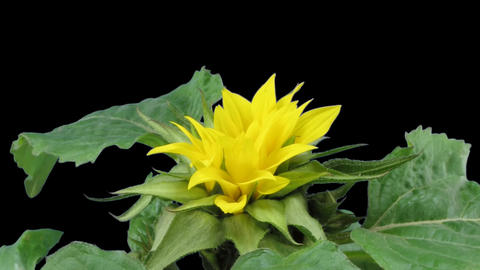 Time-lapse blooming sunflower 2 isolated on black front view Stock Video Footage