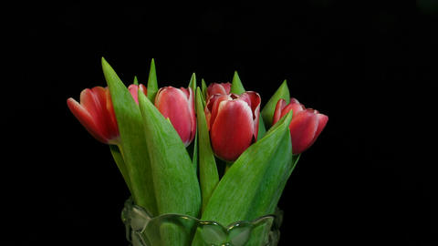 Time-lapse of red tulips opening 1 Stock Video Footage