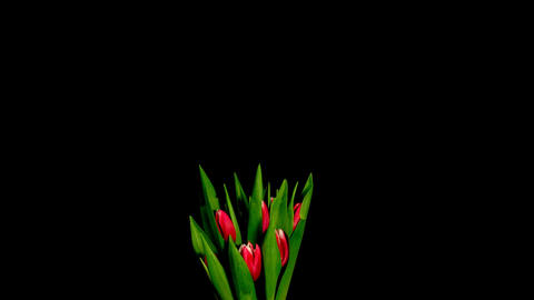 Time-lapse of opening red tulips bouquet 3 Stock Video Footage