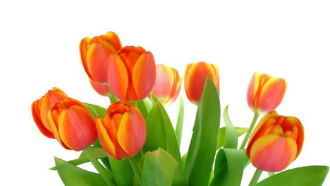 Time-lapse of opening red tulips bouquet 5 Stock Video Footage