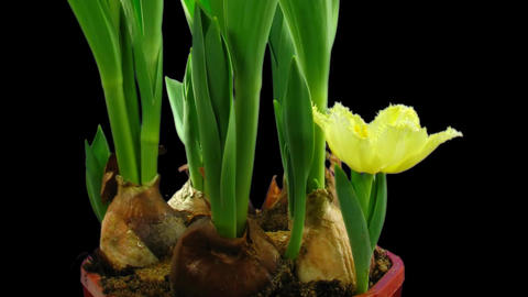 Time-lapse opening yellow tulip 2 isolated on black Stock Video Footage