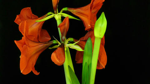 Amaryllis flower blooming timelapse 7 Stock Video Footage