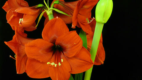 Amaryllis flower blooming timelapse 7 Footage