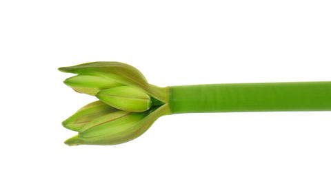 Time-lapse of growing amaryllis Joker flower isolated on white 2 Footage