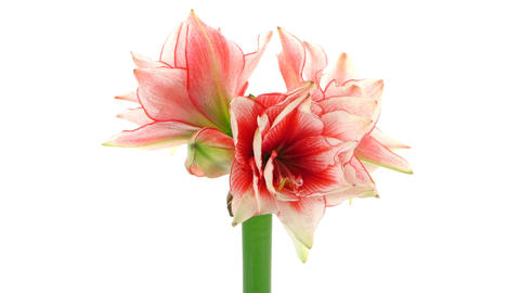 Time-lapse of growing amaryllis Joker flower isolated on... Stock Video Footage