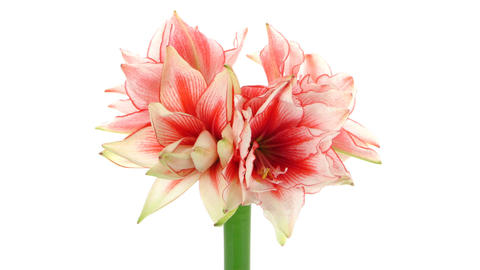 Time-lapse of growing amaryllis Joker flower isolated on white 6 Footage