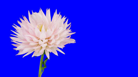 Time-lapse of dying pink dahlia 5 blue chroma key Footage