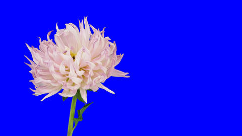Time-lapse of dying pink dahlia 5 blue chroma key Stock Video Footage