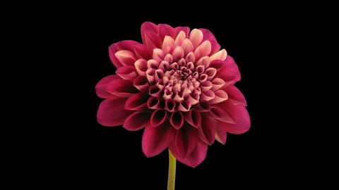 Time-lapse of blooming red dahlia 9 isolated on black Stock Video Footage