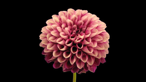 Time-lapse of dying red dahlia 9c isolated on black Stock Video Footage