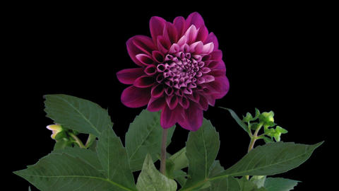 Time-lapse of blooming red dahlia 11 isolated on black Stock Video Footage