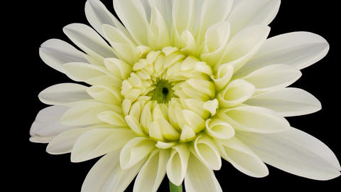 Time-lapse blooming white dahlia 2 isolated on black Stock Video Footage