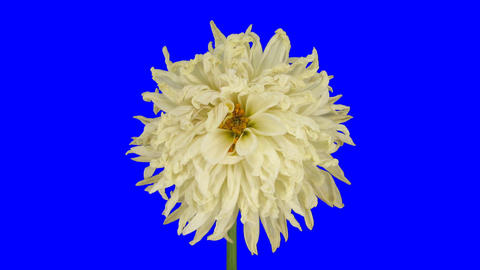 Time-lapse of dying white dahlia 4 chroma key Stock Video Footage