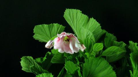 Time-lapse of opening pink pelargonium 2 Stock Video Footage