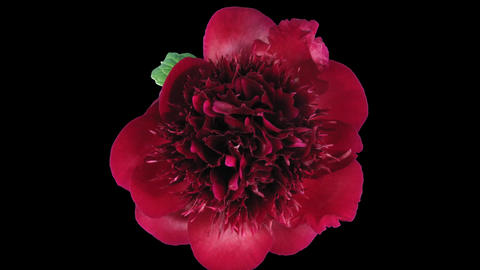 Time-lapse opening rotating red peony 8 isolated on black top Footage