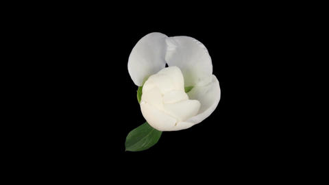 Time-lapse of opening white peony 1 isolated on black top Stock Video Footage
