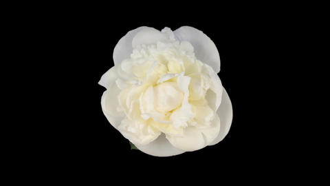 Time-lapse of opening white peony 1 isolated on black top Footage