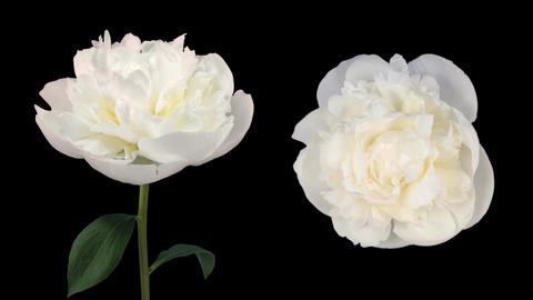 Time-lapse of opening white peony 6d isolated black two cameras Footage
