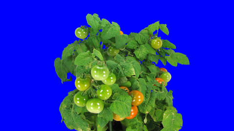 Time-lapse of growing ripening falling tomato 1 blue... Stock Video Footage