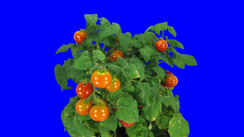 Time-lapse of growing ripening falling tomato 1 blue chroma key Footage