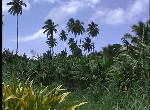 Tall silhouettes of palms showing against a clouded blue sky on Rarotonga one of the Cook Islands in Footage