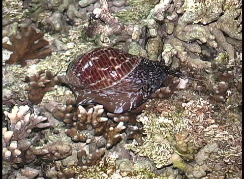 A snail crawling underwater amongst rocks and sea-weeds Stock Video Footage