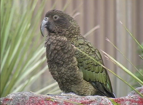 A New Zealand Mountain Parrot looks around while sitting on a rock perch Footage