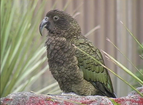 A New Zealand Mountain Parrot looks around while sitting... Stock Video Footage