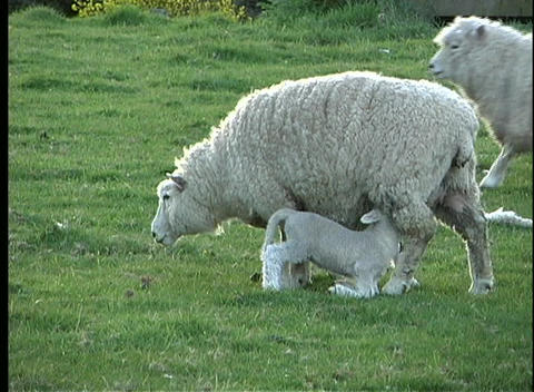 A ewe nurses her two lambs on a farm in New Zealand Footage