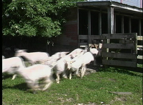 A large herd of shorn sheep rush out of a holding pen Stock Video Footage