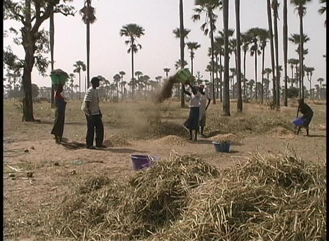 A medium-shot of farm-workers threshing grain by hand in Africa Footage