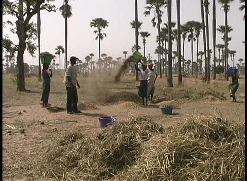 A medium-shot of farm-workers threshing grain by hand in... Stock Video Footage