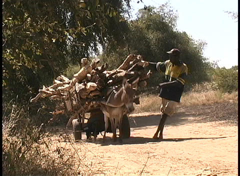 An African man walks alongside a donkey, leading it, as it struggles to pull a heavy cartload of woo Footage