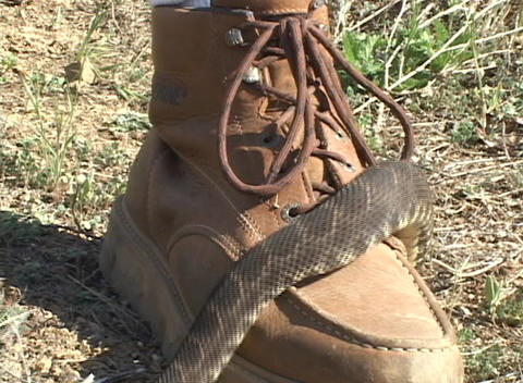 A large rattlesnake slithers over a brown hiking boot Stock Video Footage