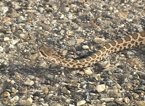 A rattlesnake crawls across rocky ground Stock Video Footage