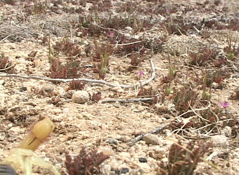 A yellow scorpion crawls across the ground and attacks... Stock Video Footage