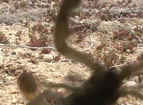 A yellow scorpion crawls across the ground and attacks the camera Footage