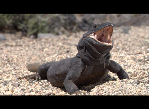 A large lizard basks in the sun Stock Video Footage