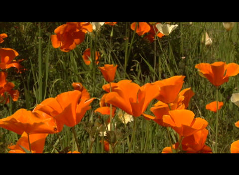 Orange and red flowers wave in the breeze Stock Video Footage