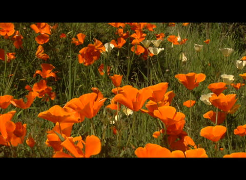 Orange and red flowers wave in the breeze Footage