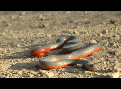 A gray and red snake slithers across the desert Stock Video Footage