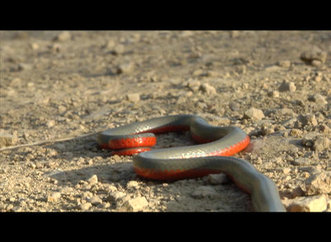 A gray and red snake slithers across the desert Footage