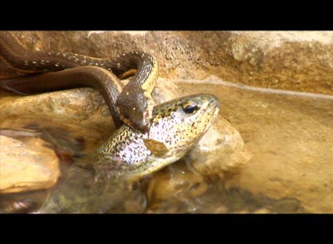 A snake strikes and captures a fish in a stream Stock Video Footage