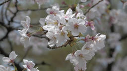 Cherry blossoms in full bloom fluttering in the wind in a city park, Tokyo, Japa Footage