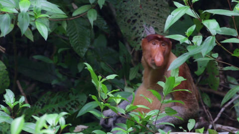 Proboscis monkey in Borneo jungle Footage