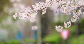 Cherry blossoms fluttering in the wind, Tokyo, Japan Footage