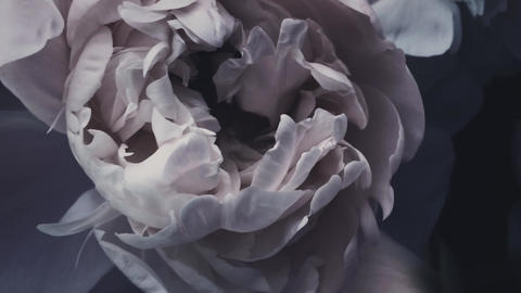 Dark vintage peonies, pastel peony flowers in bloom as holiday, wedding and Live Action