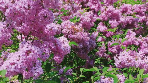 Syringa or lilac vulgaris flowers in botanical garden as nature, holiday and Acción en vivo
